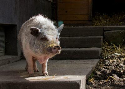 Schweine